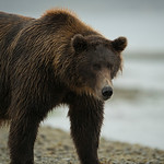 Katmai-Alaska-Kukak-Bay-Grizzly-Brown-Bears-_D8X0430
