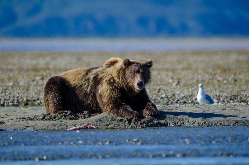 Katmai-Alaska-Kukak-Bay-Grizzly-Brown-Bears-_J701137