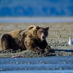Katmai-Alaska-Kukak-Bay-Grizzly-Brown-Bears-_J701137