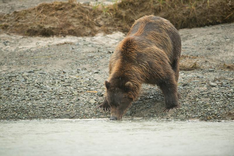 Katmai-Alaska-Kukak-Bay-Grizzly-Brown-Bears-_D8X7705