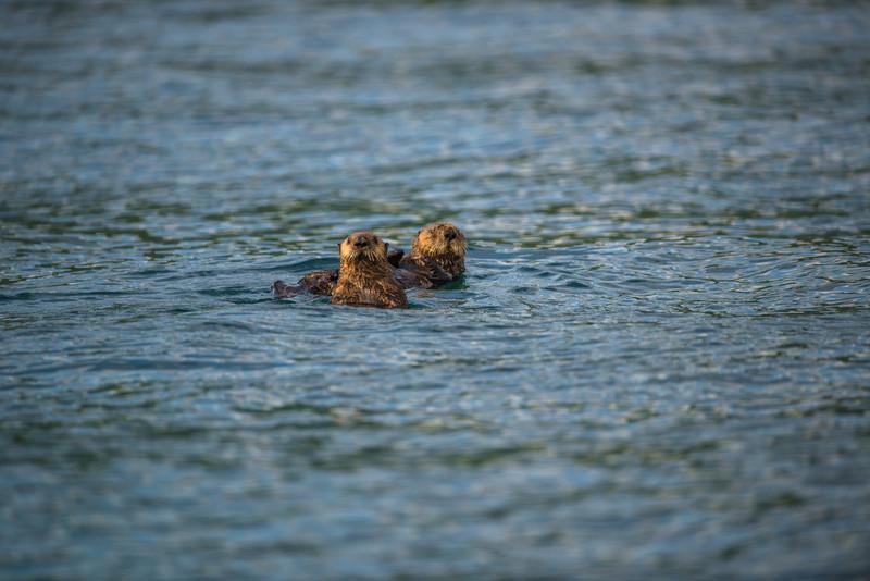 Katmai-Alaska-Kukak-Bay-Grizzly-Brown-Bears-_D8X7037