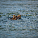 Katmai-Alaska-Kukak-Bay-Grizzly-Brown-Bears-_D8X7037