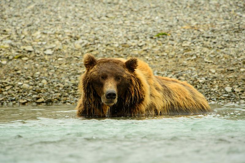 Katmai-Alaska-Kukak-Bay-Grizzly-Brown-Bears-_D8X9080
