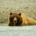 Katmai-Alaska-Kukak-Bay-Grizzly-Brown-Bears-_D8X9080