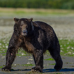 Katmai-Alaska-Kukak-Bay-Grizzly-Brown-Bears-_J700811