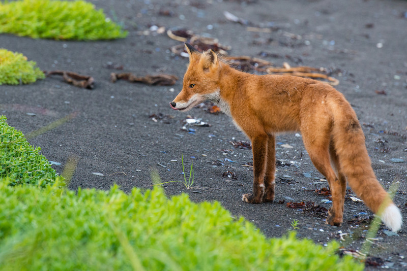 This little Red Fox was running around the Katmai Wilderness Lodge up in Katmai National Park & Preserve . I couldn't believe he was just feet from us wandering around! Just the variety of wildlife was amazing up in Alaska. — at Katmai National Park & Preserve.