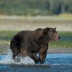 Katmai-Alaska-Kukak-Bay-Grizzly-Brown-Bears-_D8X9916