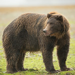 Katmai-Alaska-Kukak-Bay-Grizzly-Brown-Bears-_D8X0476