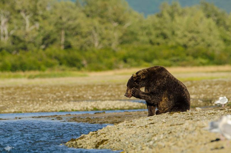 Katmai-Alaska-Kukak-Bay-Grizzly-Brown-Bears-_J700622