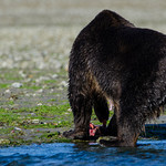 Katmai-Alaska-Kukak-Bay-Grizzly-Brown-Bears-_J700725