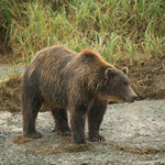 Katmai-Alaska-Kukak-Bay-Grizzly-Brown-Bears-_D8X7703