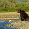 Katmai-Alaska-Kukak-Bay-Grizzly-Brown-Bears-_J700564