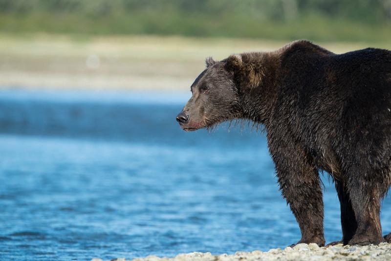 Katmai-Alaska-Kukak-Bay-Grizzly-Brown-Bears-_D8X9927