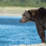 Katmai-Alaska-Kukak-Bay-Grizzly-Brown-Bears-_D8X9927
