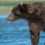 Katmai-Alaska-Kukak-Bay-Grizzly-Brown-Bears-_D8X9940