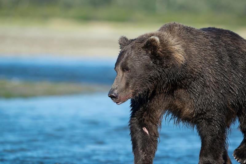 Katmai-Alaska-Kukak-Bay-Grizzly-Brown-Bears-_D8X9939