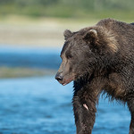 Katmai-Alaska-Kukak-Bay-Grizzly-Brown-Bears-_D8X9939