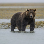 Katmai-Alaska-Kukak-Bay-Grizzly-Brown-Bears-_D8X7635