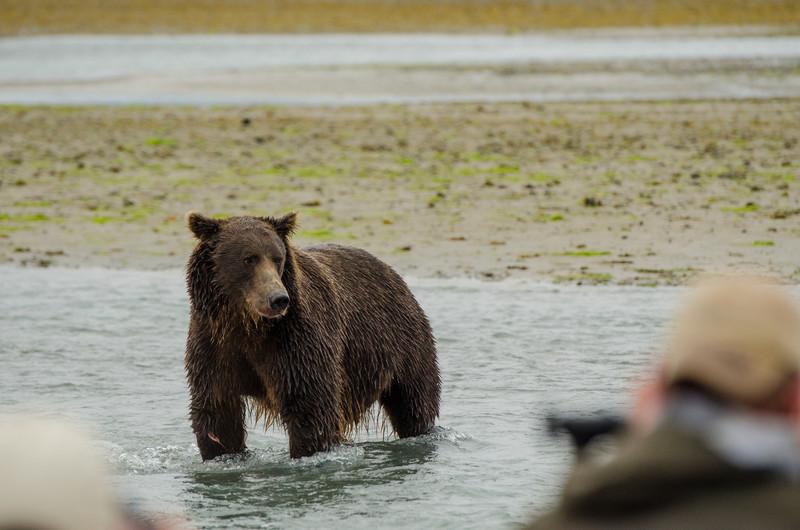 Katmai-Alaska-Kukak-Bay-Grizzly-Brown-Bears-_J700411