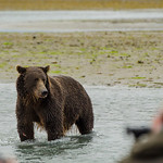 Katmai-Alaska-Kukak-Bay-Grizzly-Brown-Bears-_J700411