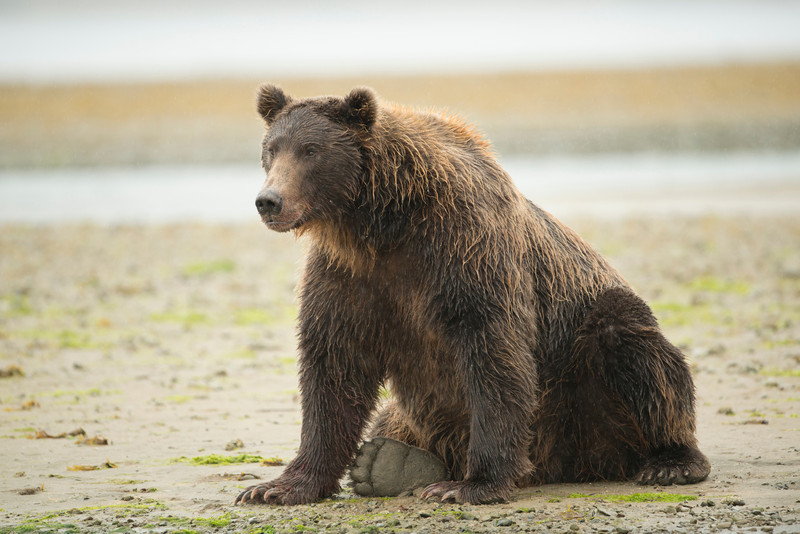 Katmai-Alaska-Kukak-Bay-Grizzly-Brown-Bears-_D8X0493