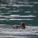 Katmai-Alaska-Kukak-Bay-Grizzly-Brown-Bears-_D8X6610