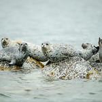Katmai-Alaska-Kukak-Bay-Grizzly-Brown-Bears-_D8X9445