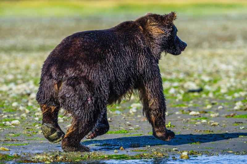 Katmai-Alaska-Kukak-Bay-Grizzly-Brown-Bears-_J700727