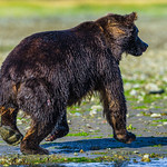 Katmai-Alaska-Kukak-Bay-Grizzly-Brown-Bears-_J700727