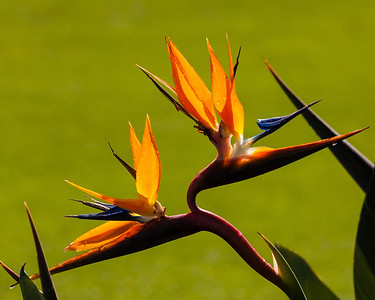 Birds of Paradise, Kauai, HI.