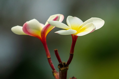 Plumeria, Kauai, HI.