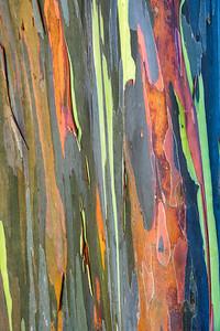 Rainbow Eucalyptus,  Kauai, HI.