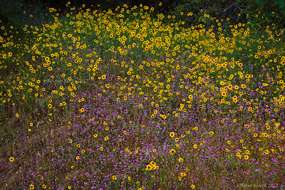 Wildflowers in Kings Canyon spring 2012, Sequoia National Forest