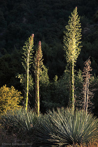 Blooming yucca in Kings Canyon, Sequoia National Forest, Sierra Nevada