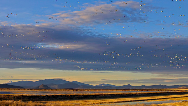 Klamath Basin with Snow Geese in flight.