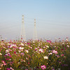Powerlines over a field of flowers