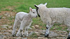 Lambs playing, spring, Cumbria.