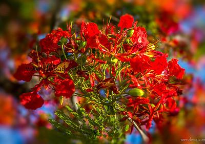 Royal Poincianna Tree
