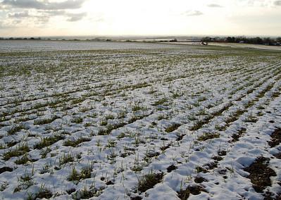 Winter barley above Benniworth