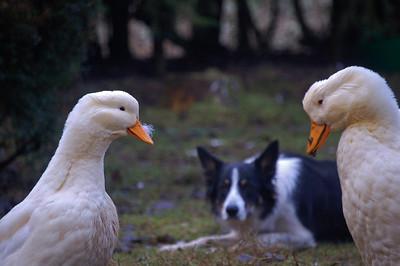 """Peking ducks being """"herded"""" by Tasha the collie"""