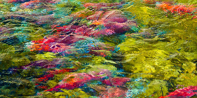 Salmon Run, Taylor Creek, South Lake Tahoe, California