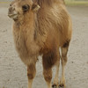 Camel in the Nubra Valley, Hundar