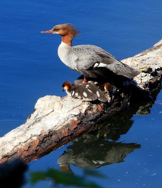 Mama merganser and her clan.