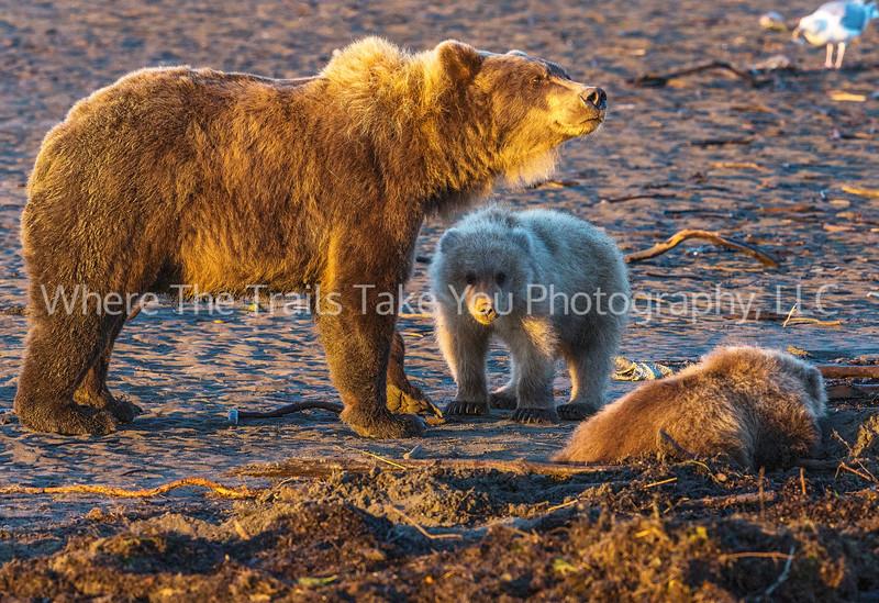 5.  Alaskan Brown Bear Family Unit