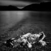 Dead Sheep, Grasmere, The Lake Distict