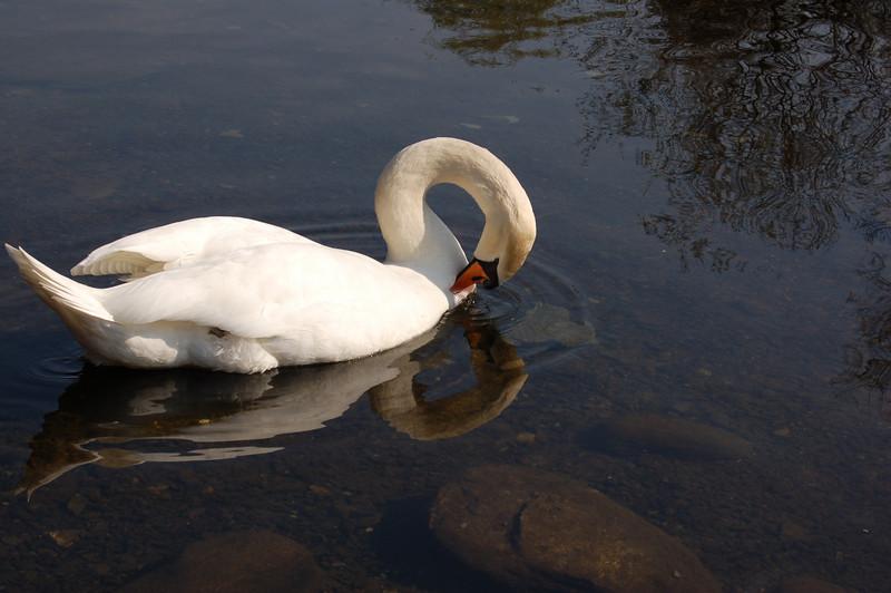 Swan grooming feathers - Nr. Grasmere