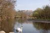 Swan - Near Grasmere