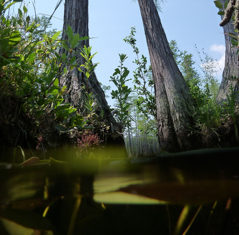 Cypress Swamp at headwaters of Lake Juniper and the Beaver Pond