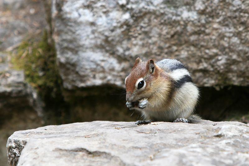 Hungry Chipmunk - Johnson Canyon