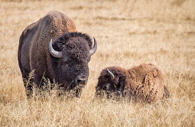 Roadside bison - Hayden Valley, Yellowstone National Park